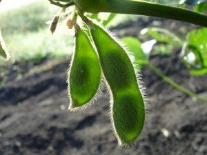 枝豆の産毛